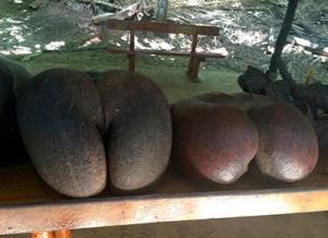 """Die typische Seychellen-Frucht """"Coco de Mer"""""""
