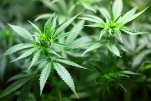 Cannabis hat ein vielseitiges Wirkspektrum und dient seit Jahrtausenden als Nutzpflanze.