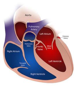 Das Herz besteht aus 2 Vorhöfen und 2 Kammern und enthält somit 2 verschiedene Pumpen, eine für den kleinen Lungenkreislauf und eine für den großen Kreislauf des Körpers.